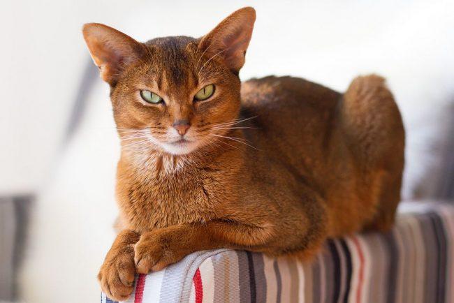 Абиссинской кошке очень нравится обращать на себя всеобщее внимание