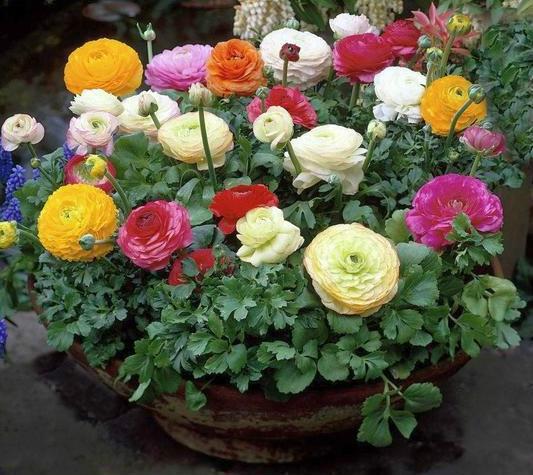 Лютики садовые или ранункулюсы, сложности выращивания ' Дача, сад, огород
