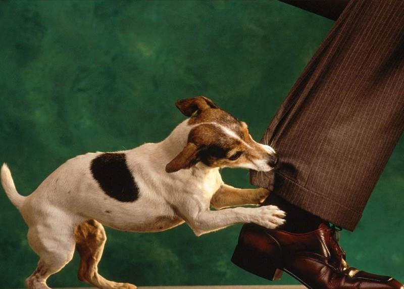 Картинки по запросу Доминантное поведение у собак, стерилизация (кастрация) как способ коррекции поведения