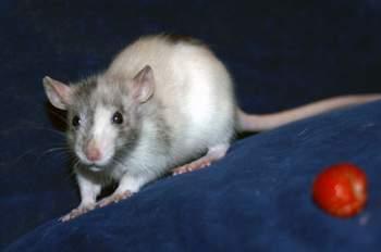 Крыса черепахового окраса