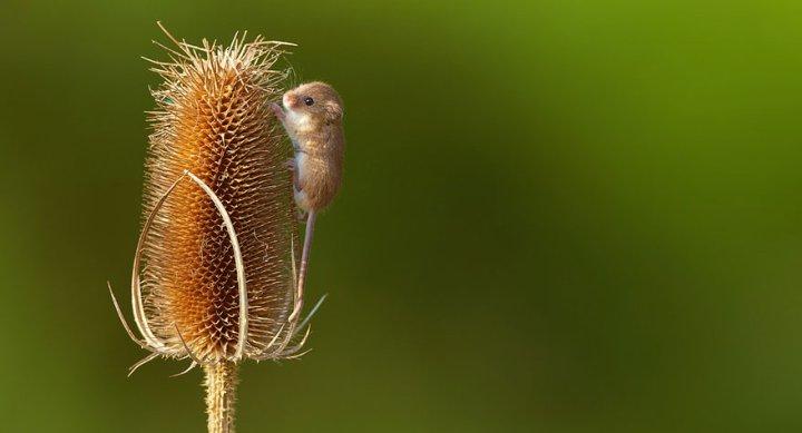 фотографии крошечных и забавных диких мышек (26)