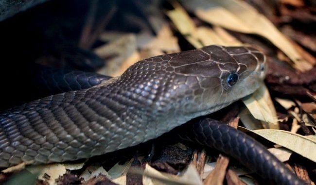 Черная Мамба сыскала себе славу безжалостного убийцы за свою беспощадность и размеры. Это самая большая и ядовитая змея из всего своего рода