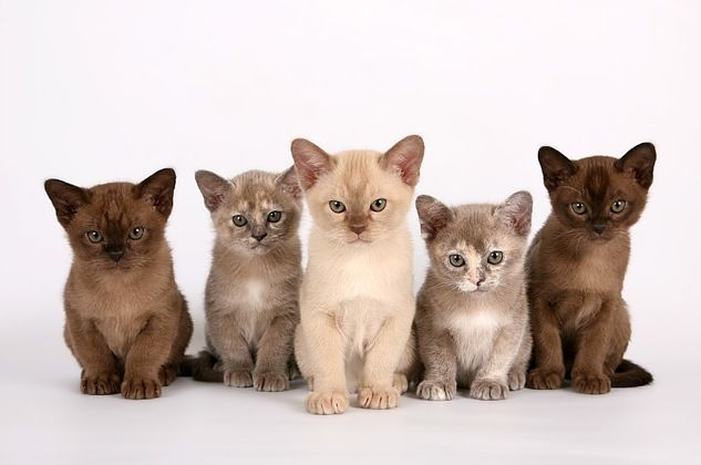 Вариаций окраса бурманской кошки бывает множество, однако наиболее популярным считается цвет темного шоколада