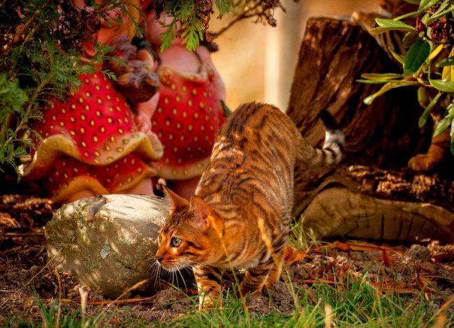 Окрас тойгер кошки – единственное, что есть в ней дикого