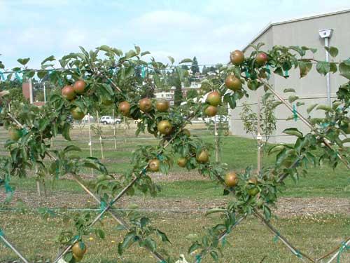 Плодовые деревья на шпалерах - замечательная идея для маленького участка