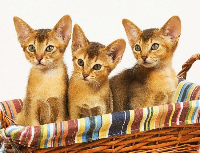 Три абиссинских близнеца, одинаковых с лица, одарят любого хозяина, своим повышенным вниманием!