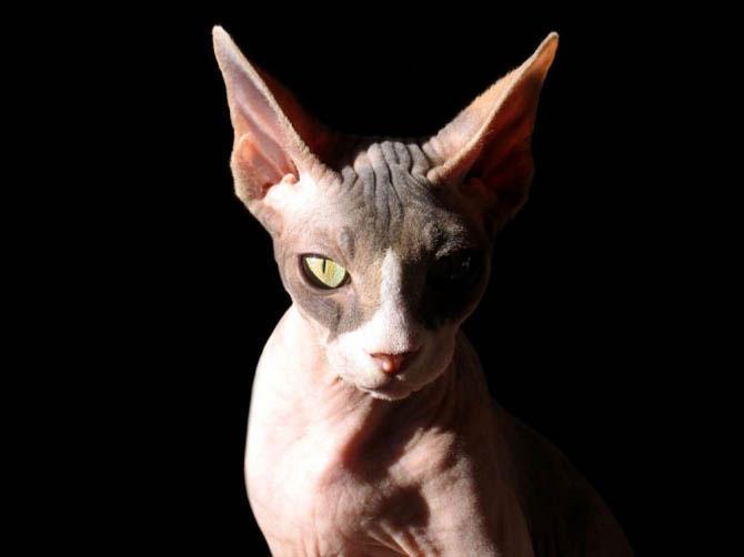 7 заблуждений о кошках-сфинксах