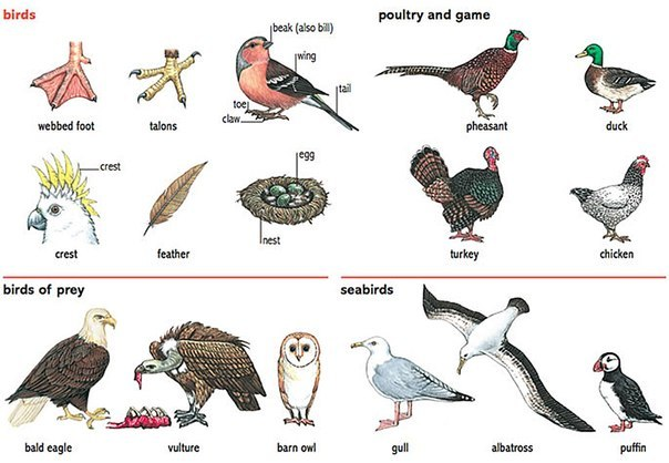 Названия птиц по-английски: