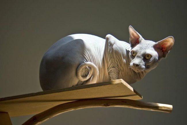 """Донской сфинкс хорошо понимает настроение хозяина. Если он весел, котик готов с ним играть, если нет – посидит тихонечко на диване, ожидая """"смены погоды"""""""