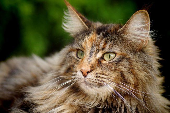 Уход за шерстью норвежки не сложен. Структура волоса у нее такова, что шерсть не спутывается, как у персов. Поэтому расчесывать кису стоит пару раз в неделю