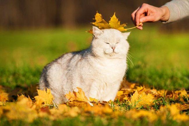 В этот момент, британский кот представляет себя королём среди всех пород кошек