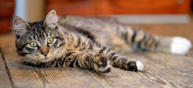 Курилы очень чуткие, при отсутствии внимания и заботы кошки могут впадать в депрессию