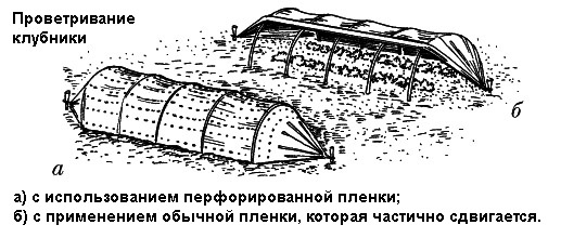 проветривание клубники под пленкой