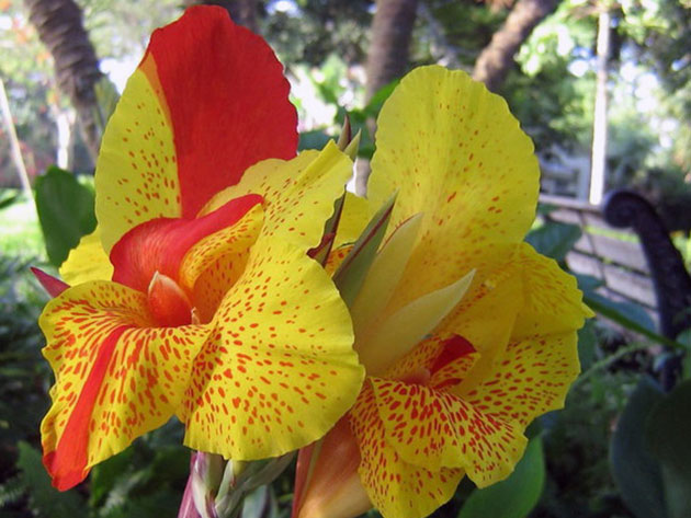 Канна орхидная
