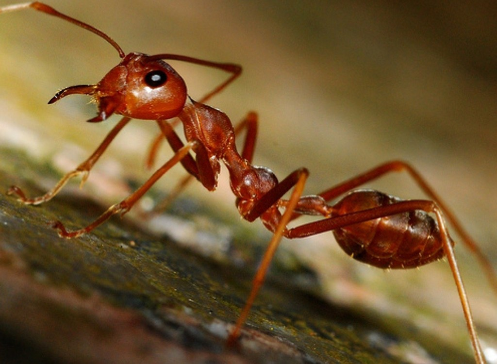 kartinki24_insects_ants_0048