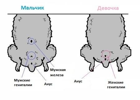 фото как определить пол хомяка