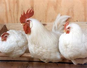 Породы кур, Породы кур Яичные, Породы кур мясо-яичные, Породы кур мясные, Породы кур декоративные, Породы кур бойцовые