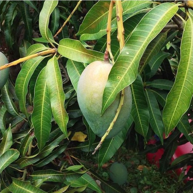 10329115-mango-650-1466510110.jpg