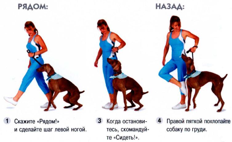 Картинки по запросу Дрессировка щенка: команды «лежать», «рядом»
