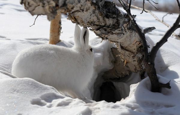 ловушки для зайцев своими руками