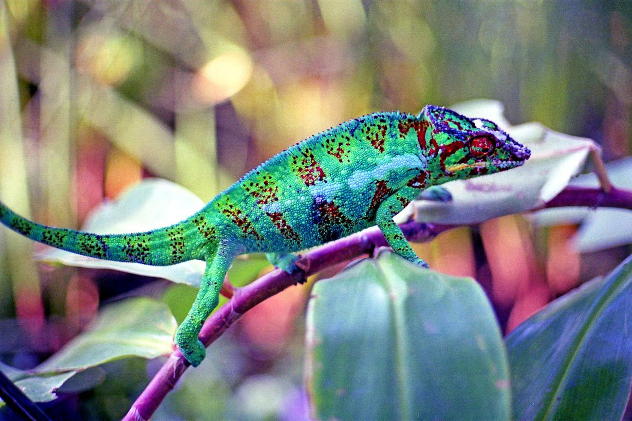 Ареал обитания — Мадагаскар. (laurent KB)