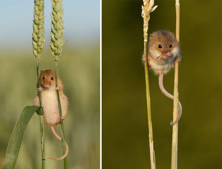 фотографии крошечных и забавных диких мышек (6)