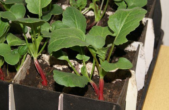 Как вырастить редис на подоконнике ' дача, сад, огород.