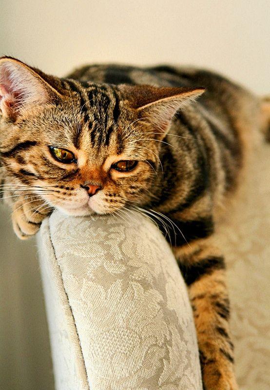 Любимое занятие американок – лежать на диване и следить за происходящим вокруг. Эти кисы не будут носиться по дому, и переворачивать все вверх дном