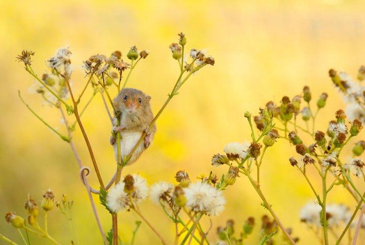 фотографии крошечных и забавных диких мышек (18)
