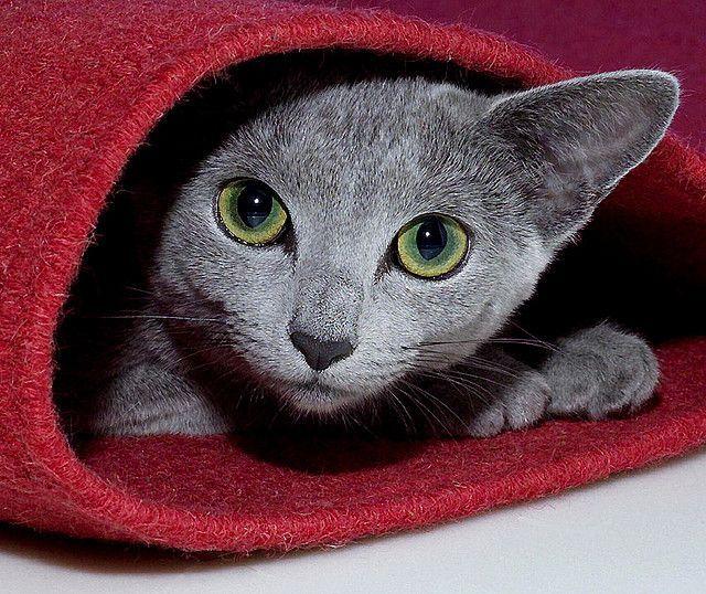 Русская голубая кошка не бывает назойливой или надоедливой, и не терпит насилия над собой