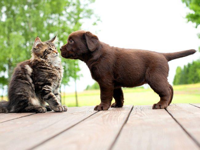 По отношению к другим животным у мейн-кунов абсолютно нет агрессивности, они легко уживаются с любыми домашними питомцами