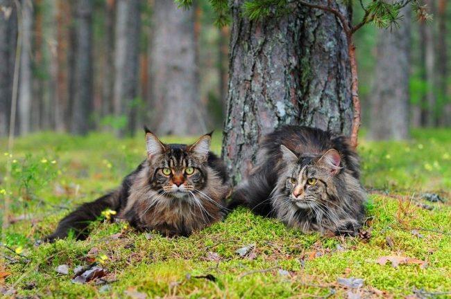 Мейн-куны это гиганты среди других пород кошек, имеющие такое же большое, любящее сердце