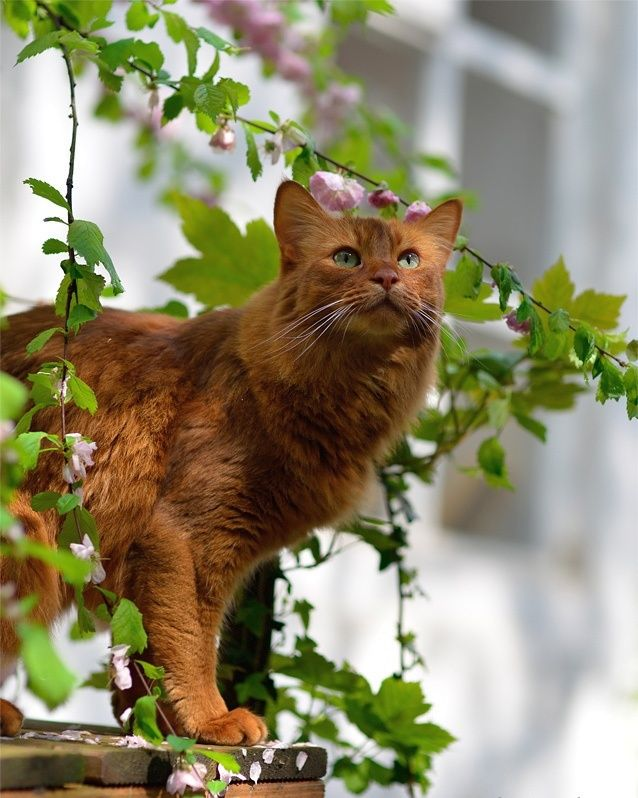 Тонкая мягкая шерсть средней длины всегда лежит прекрасно, не путается и не образует колтунов. Но пренебрегать расчёсыванием сомалийской кошки всё же не стоит, ведь шерсть богато подпушена подшёрстком, который нужно прореживать