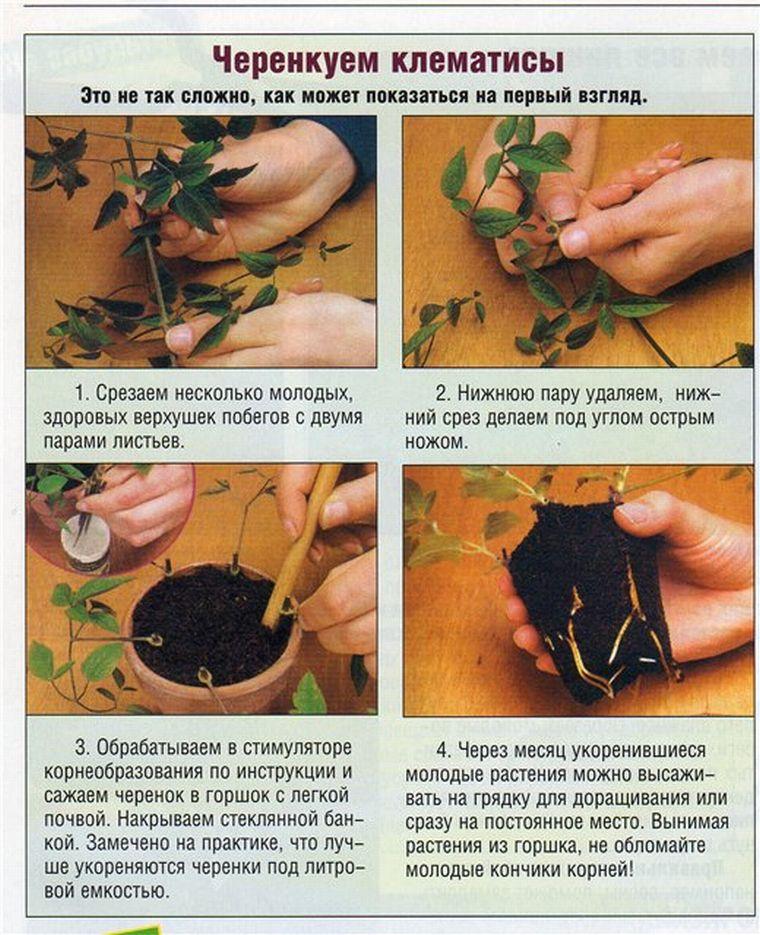 Выращивание клематис из семян в домашних условиях