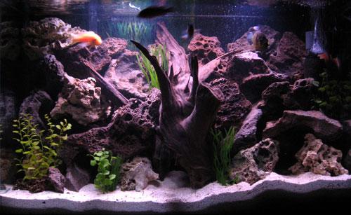 цихлиды в домашнем аквариуме
