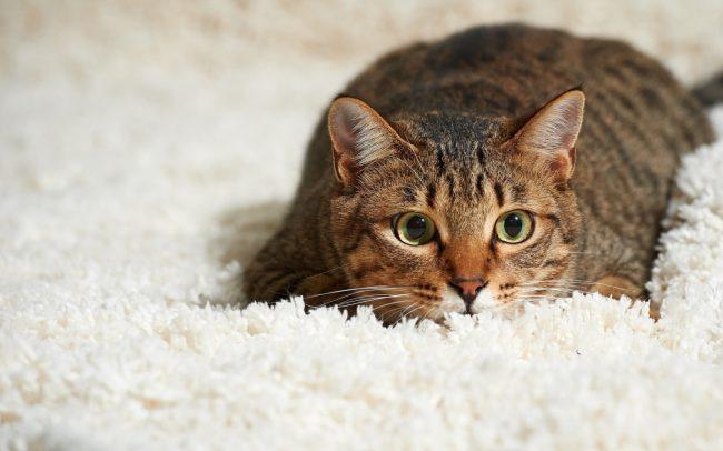 как убрать следы кошки из квартиры аллергия