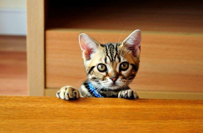 Американская короткошерстная кошка обладает крепким здоровьем, так что часто эти кисы доживают до 20 лет