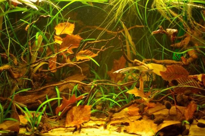 Биотоп аквариума для Керри, коряги и сухие листья.