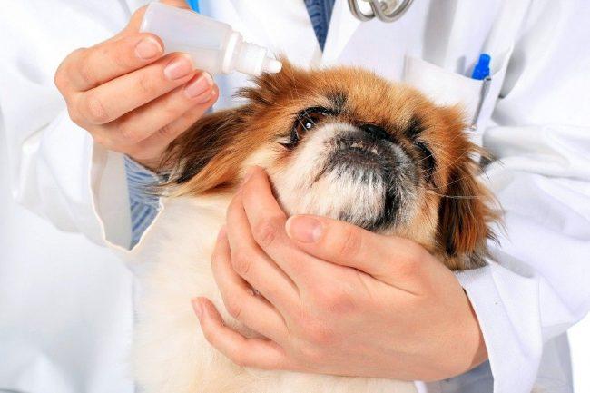 Профилактических методов катаракты у собак не существует. В этом случае главное - вовремя заметить начало болезни и предотвратить ее