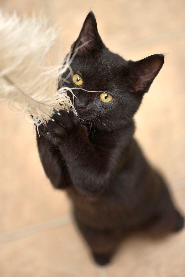 Бурманские кошки обладают игривым характером