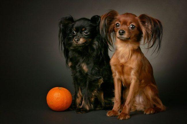 Русский той терьер - маленькая собачка с большим добрым сердцем