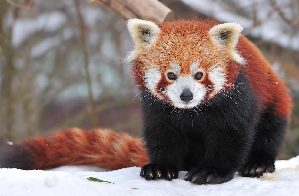 Red_panda_pixanews-5