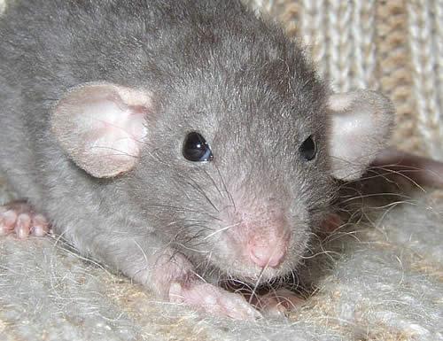 Кудрявая дамбо крыса