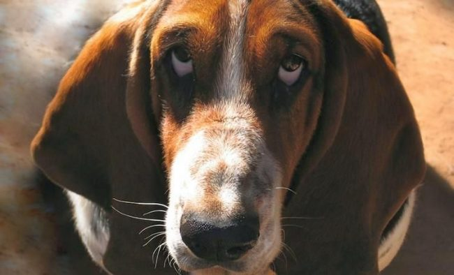 Перед покупкой питомца поинтересуйтесь, были ли в его роду проблемы со зрением. Лучше переплатить за здорового щенка, чем потом тратиться на его лечение