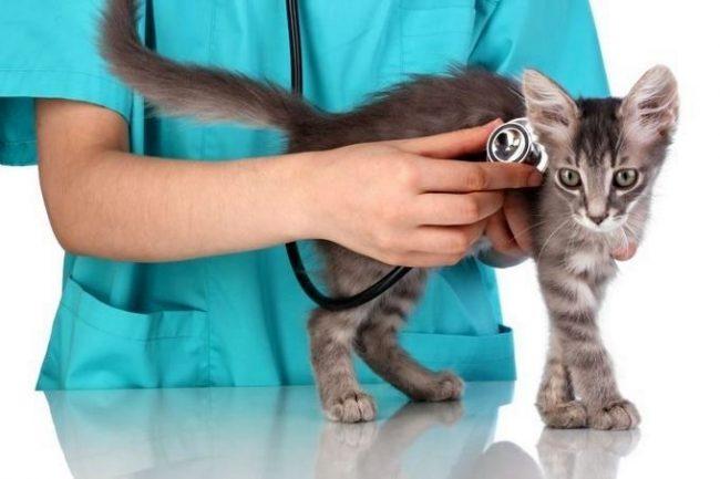 После проведения прививки нужно понаблюдать за состоянием котенка: активен ли он, какой у него аппетит
