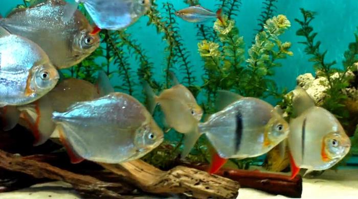 Метиннисы в аквариуме с искусственными растениям.