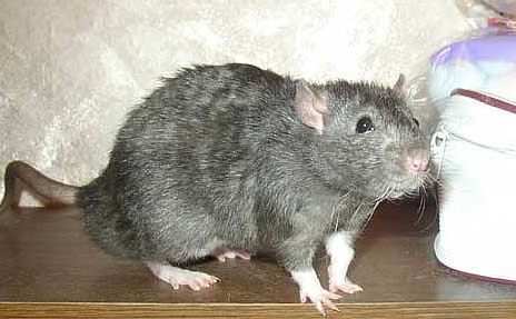 Кудрявая крыса