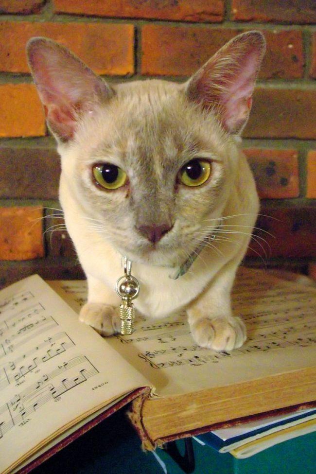 Бурманская кошка любит во всем помогать своим хозяевам: будь то просмотр любимой телепрограммы, или выполнение домашнего задания по музыке