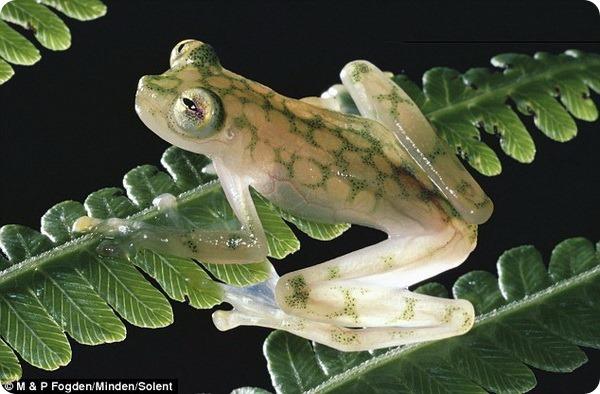 Самец стеклянной лягушки и его будущее потомство