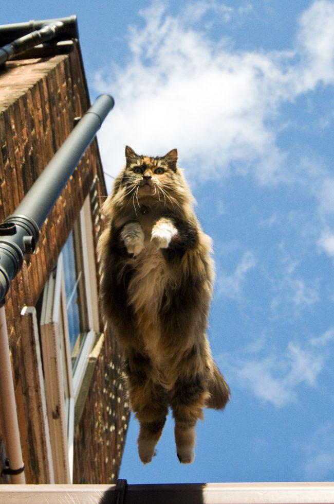 Норвежским лесным кошкам присущ нордический характер, поэтому они во всем знают меру. Однако очень любят активные игры
